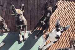 Puppies-Jippis1
