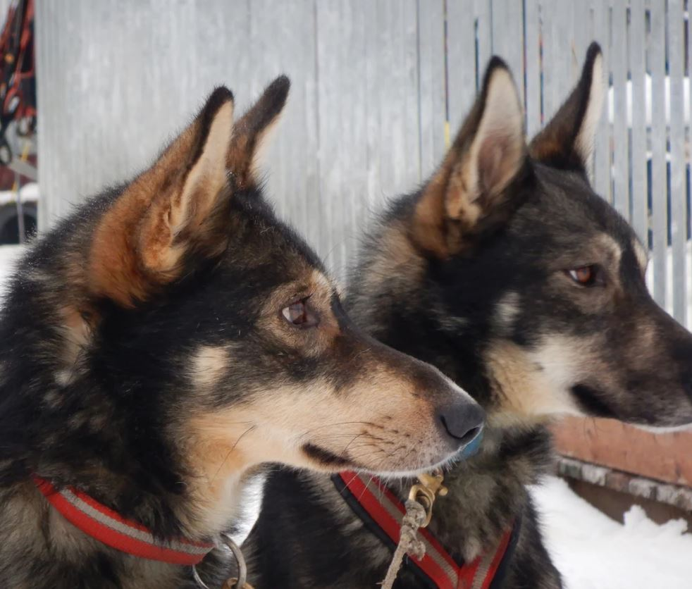 Meet our Alaskan huskies!